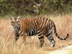Royal Bengal Tiger Escapes Net Fled Away Midnapore