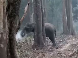 Are Elephants Also Addicted Smoking Watch This Stunning Video