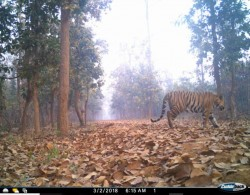 Unnatural Death Two Forest Staffs West Midnapur Catch Tiger