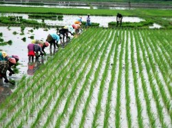 Bengal Creates Record Crops Production Espevially Rice Say Modi Govt Data