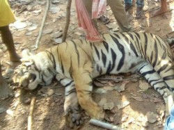 Royal Bengal Tiger S Head Was Burst According Postmortem Report