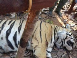 Forest Department Can T Avoid The Responsibility The Royal Bengal Tiger S Hunting