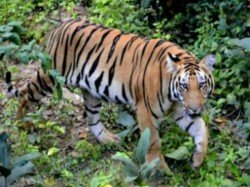 A Young Woman Is Fighiting With Tiger With Stick India
