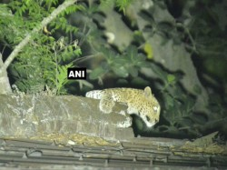 Leopard Is Spotted Near Shopping Mall Siliguri