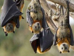 Fruit Bats Are Not Responsible Nipah Spreading