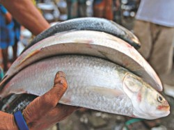 Indonesia S Milk Fish Could Be Replacement Ilish Or Hilsa Fish