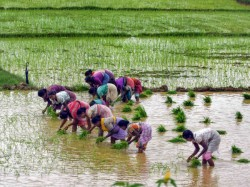 Mamata S West Bengal Govt Will Whatsapp Farmers Inform About Crop Sell