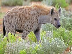 Hyena Fear West Midnapur S Kharagpur Area