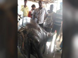 Fish Weighting About 185 Kg Is Found Digha