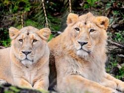 Lions Die Within Span Few Days Gujarat S Gir Forest