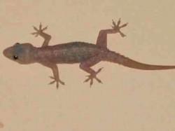 How Lizards Home Effect Life According Shakun Shastra