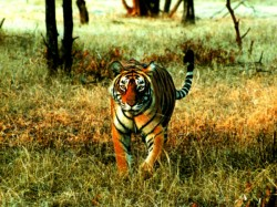Tiger Have Seen Village Siuri Birbhum