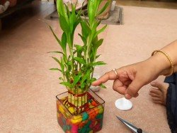 Where Place Lucky Bamboo Tree At Home Here Are Some Vastu Tips