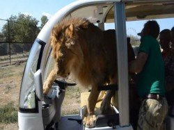Lion Jumps To Safari Car Full Tourist Crimea