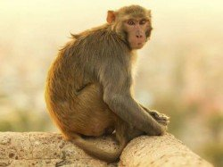 A Devotee Woman Is Died Monkey S Slap At Nawadip Temple
