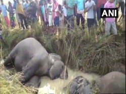 Seven Elephants Electrocuted Death Odisha S Dhenkanal District
