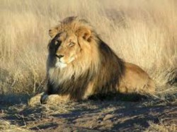 Asiatic Lions Dead Toll Gujarat S Gir Forest Climbs 21 Dead