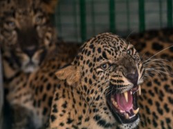 Leopard Enters Secretariat Campus Gujarat Massive Search Operation On