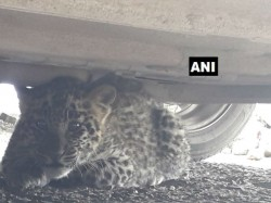 Leopard Cub Sneaks Into Shimla Court Complex Rescued Forest Officials