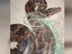 A Huge Python Is Recovered From House South 24 Pargana
