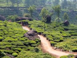 Tripura Plans Grow Tea On Land Between Fencing India Bangladesh Border