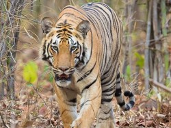 Fisherman Is Died Tiger S Attack At Sundarban South 24 Pargana