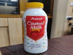 Amul Launches Camel Milk Select Gujarat Markets
