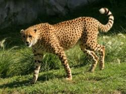 Cheetah Awarded Death Penalty Alipurduar