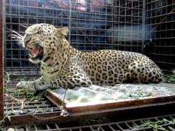 Lepard Sachin Comes Back His Enclosure At Bengal Safari Siliguri