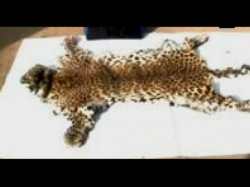 Five Pouching Arrested Going Sell Leopard Skin At Duars