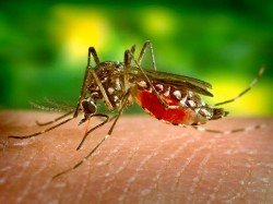 Horny Sexually Active Mosquitoes Can Reduce Mosquitoes Related Deaths Around World