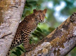 Leopard Cub Dies After Being Dragged Thrashed Villagers Maharashtra