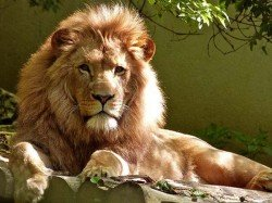 Punjab Man Killed Asiatic Lion After Scaling 20 Foot Zoo Wall