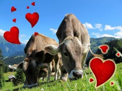 Cows Get Their Own Tinder Style App Breeding Named Moo Love