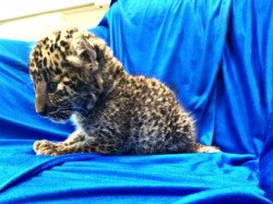 A Leopard Cub Is Rescued From Baggage Passenger Chennai Airport
