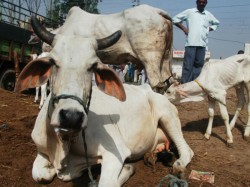 Ayodhya Man Held For Criminal Charges Over Assaulting Cows