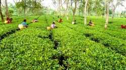 Bjp Mp Asked Question On Behalf Of Tea Garden Workers