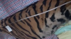 Bengal And Asam Police Arrest Five Royal Bengal Tiger S Skin Traffickers