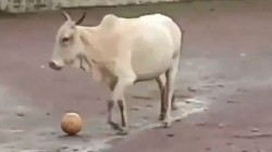 Cow Does Not Leave Footbal Video Goes Viral