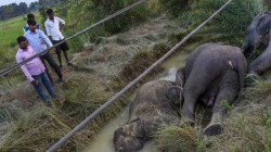 Administration Takes Special Step After Three Elephants Electrocuted