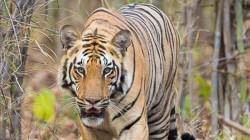 Tiger Taken Away Man At Sunderban Area