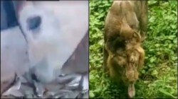 Lion Eating Grass In Cow Eats Fish See Viral Videos