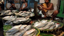 Fishermen Captures Ton Ton Hilsa From Bay Of Bengal
