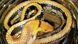 Snake Delivered In Courier Parcel To Man In Odisha
