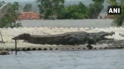 A Crocodile Lands On Roof Of A House In Flood Affected Karnataka