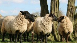 Husband Gives Permission Wife To Go With Lover Taking 71 Sheep