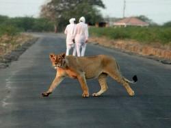 In Gujarat Lions Seen Strolling In Residential Area
