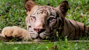 Two Fishermen Died In Sunderban By Tiger Attack