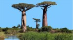 Scientists Worried About The Death Ancient African Trees