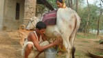 How Antibiotics Comes In Cow S Milk In Bangladesh